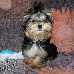 Собаки - Мальчик йоркширского терьера, 0