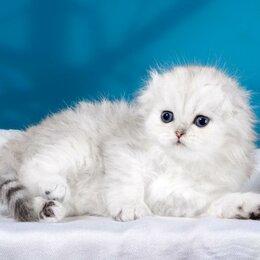 Кошки - Серебристые шиншиллы, 0