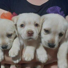Собаки - Щенки лабрадора палевые, 0