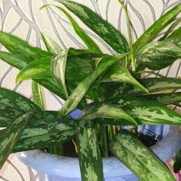 Комнатные растения - Аглаонема Мария, 0