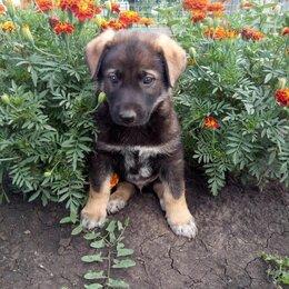 Собаки - Щенок кобель 2 мес., 0