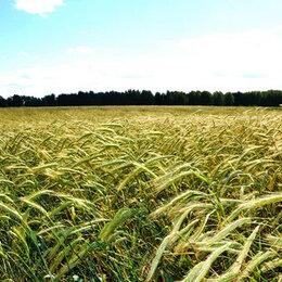 Семена - Продам семена озимая рожь - сорт ПАМЯТИ КУНАКБАЕВА, 0