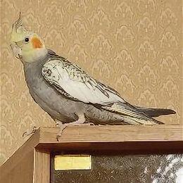 Птицы - Попугайчики Корелла самец и самка молодняк, 0