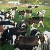 Бычки Телята на откорм  по цене не указана - Сельскохозяйственные животные и птицы, фото 2