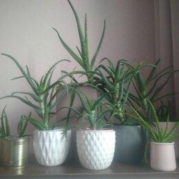 Комнатные растения - Алоэ лечебное, 0