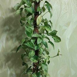 Комнатные растения - Сциндапсус , 0