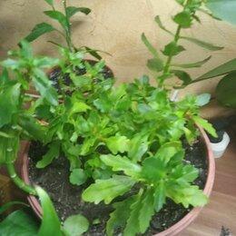 Комнатные растения - каланхоэ лечебный, 0