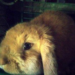 Кролики - Кролик карликовый тедди, длинноухие, 0