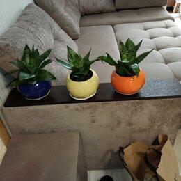 Комнатные растения - Декоративные растения Сансевиерия Ханни (щучий хвост ), 0
