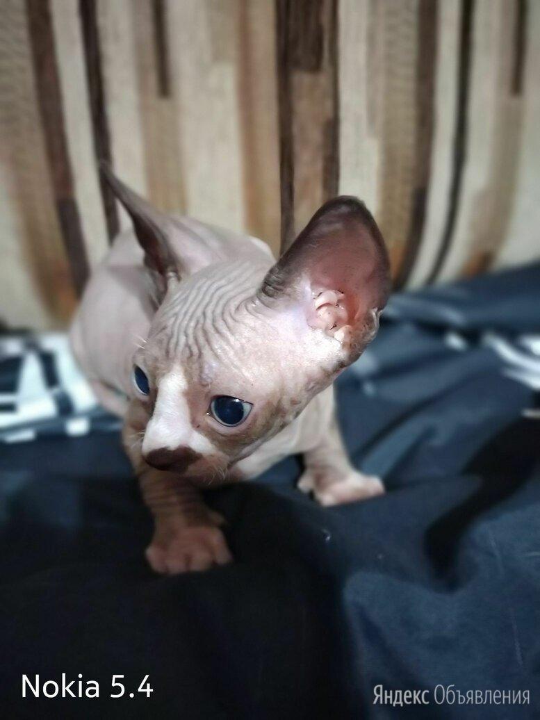 Котята Канадского сфинкса  по цене 4300₽ - Кошки, фото 0