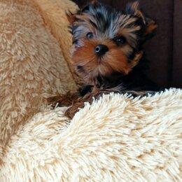 Собаки - Йоркширский терьер щенки 2 месяца, 0