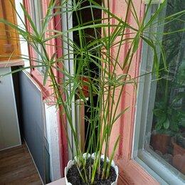 Комнатные растения - Циперус , 0