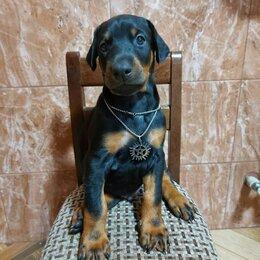 Собаки - Доберман щенок, 0