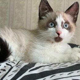 Кошки - Голубоглазая девочка Коко Шанелька 2,5 мес ищет дом, 0