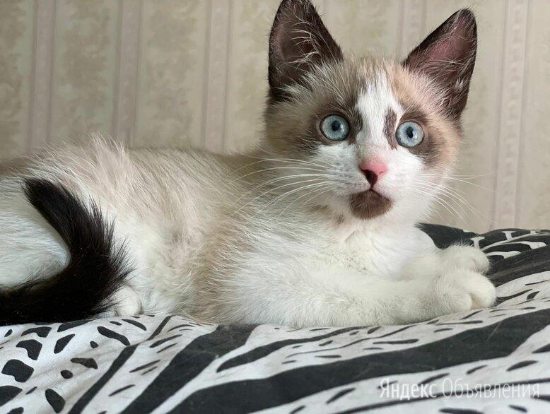 Голубоглазая девочка Коко Шанелька 2,5 мес ищет дом по цене даром - Кошки, фото 0