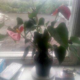 Комнатные растения - Антуриум, 0