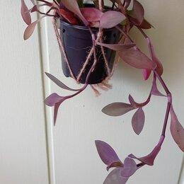 Комнатные растения - Традесканция сеткреазия пурпурная сердце, 0