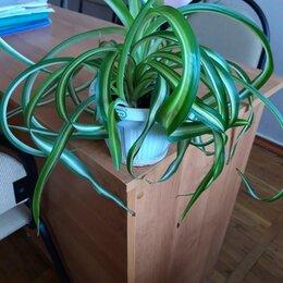 Комнатные растения - продаю хлорофитум кудрявый , 0