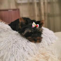 Собаки - Йоркширский терьер девочка, 0