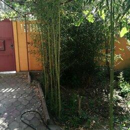 Рассада, саженцы, кустарники, деревья - Бамбук , 0