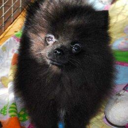 Собаки - Шпиц померанский карликовый черный, 0