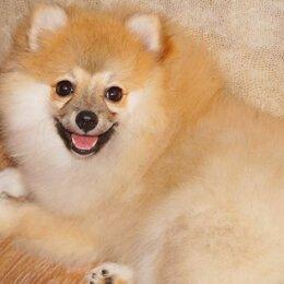 Собаки - Немецкий шпиц персиковый, 0