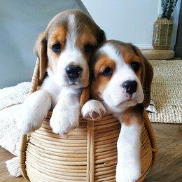 Собаки - Щенки породы бигль, 0
