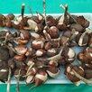 Луковицы тюльпанов  по цене 50₽ - Луковичные растения, фото 0