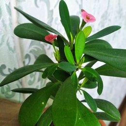 Комнатные растения - Цветок молочай миля, 0
