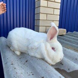Кролики - Кролики породы белый новозеландец, баран, 0