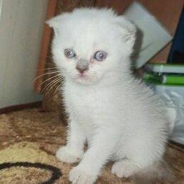 Кошки - Шотландская вислоухая фолд колор пойнт, 0