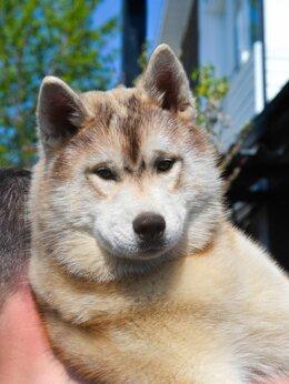 Собаки - Щенки породы Сибирский Хаски , 0