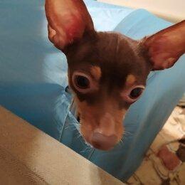 Животные - Пропала собака. Тойтерьер по кличке Дина. Окрас коричневый подпал. , 0