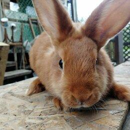 Кролики - Кролики породы новозеландская красная, 0