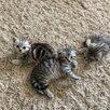 Кошки по цене 2000₽ - Кошки, фото 5