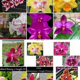 Комнатные растения - Орхидея, Фаленопсис ассортимент, 0