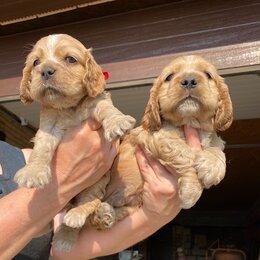 Собаки - Продам щенят английского коккер спаниеля , 0
