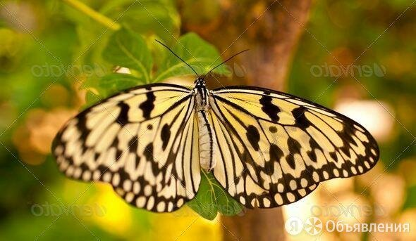 Живые тропические бабочки сильвия архиридис по цене 600₽ - Рассада, саженцы, кустарники, деревья, фото 0