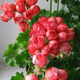 Комнатные растения - Пеларгония , герань тюльпановидная , 0