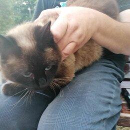 Животные - Сиамская шоколадная кошка, 0