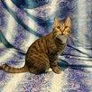 Молодой котик бесплатно по цене даром - Кошки, фото 1