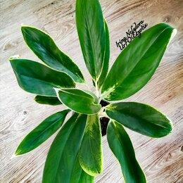 Комнатные растения - Аглаонема Yok Khahana (домашняя) , 0
