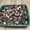 Луковицы тюльпанов  по цене 50₽ - Луковичные растения, фото 4