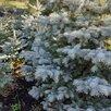 Ель колючая голубая  по цене 500₽ - Рассада, саженцы, кустарники, деревья, фото 2