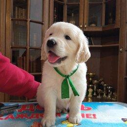 Собаки - Высокопородные щенки золотистого ретривера ( голден ), 0