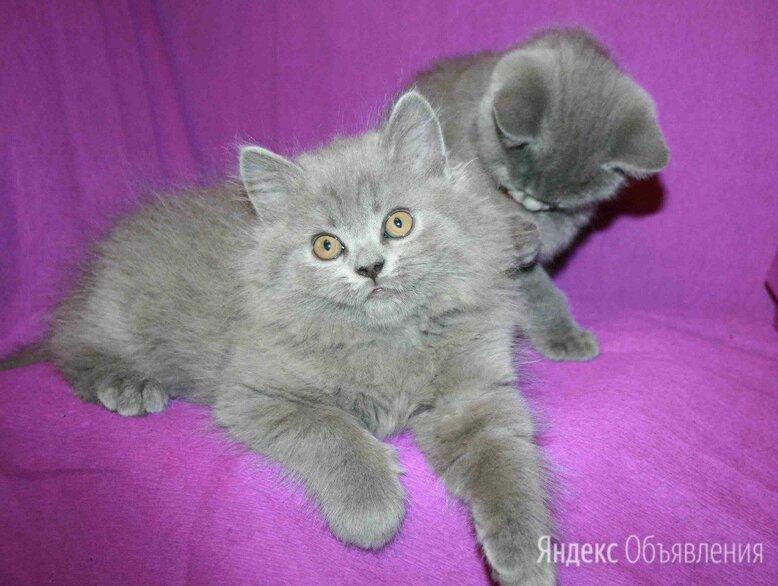 Шикарные по цене 4000₽ - Кошки, фото 0