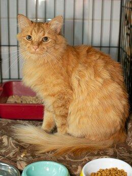 Кошки - «Апельсиновый» котик Гусляр, спокойный и ласковый, 0