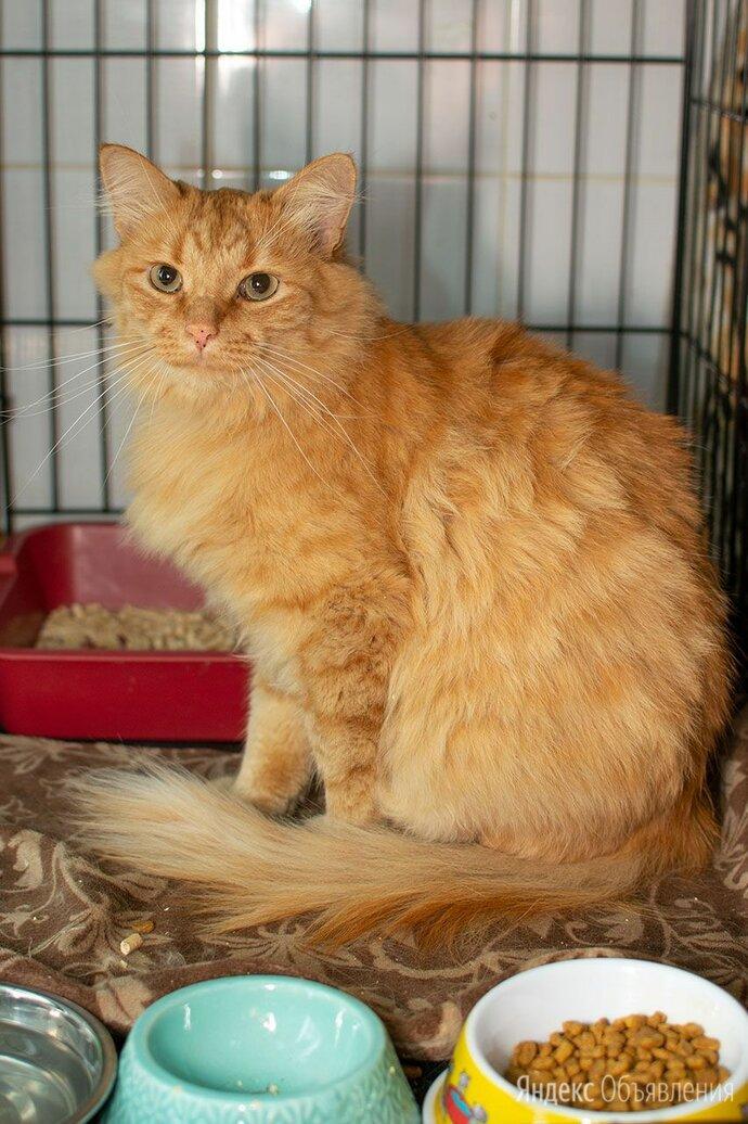 «Апельсиновый» котик Гусляр, спокойный и ласковый по цене даром - Кошки, фото 0