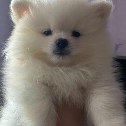 Собаки - Померанский шпиц айс крем, белый, 0