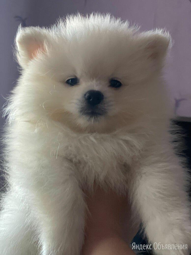 Померанский шпиц айс крем, белый по цене 45000₽ - Собаки, фото 0